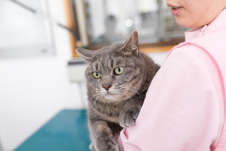 猫 避妊手術 腫れ