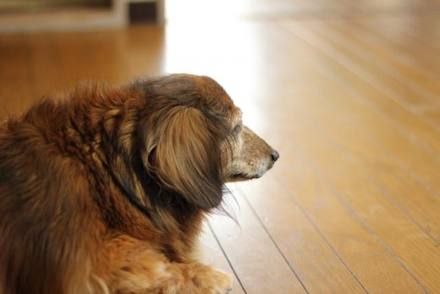歳をとった犬